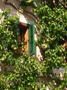 A pear tree laden with fruit is pruned to grow functionally and attractively up the wall of a home in Hallstatt, Austria.