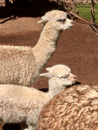 Alpacas from Peru's Sacred Valley
