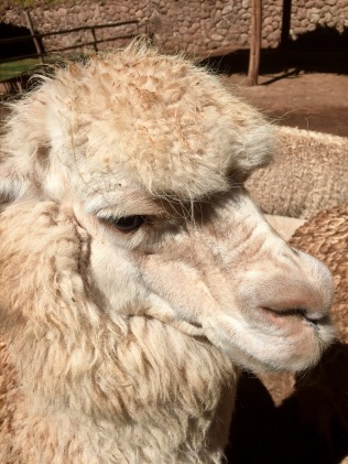 Alpaca from Peru's Sacred Valley
