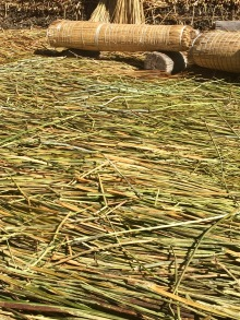 Compacted beds of Tortola Reeds on the Floating Islands of Lake Titicaca, Peru